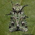 Lacinipolia viridifera 10419? - Lacinipolia viridifera - male