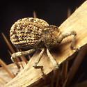 Cactus Weevil - Gerstaeckeria