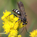 Spider Wasp - Episyron quinquenotatus - female