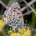 4318 Ancilla Dotted Blue ? - female