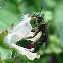 Sweat Bee - Agapostemon sericeus? - Agapostemon sericeus - female