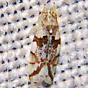 Leafhopper - Hymetta balteata