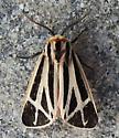 Apantesis phalerata - Harnessed Tiger Moth - Hodges#8169 - Apantesis phalerata - male