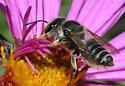 megachile mendica or brevis female - Megachile - female