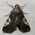 moth - Milgithea alboplagialis