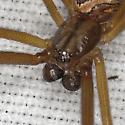 Spider IMG_6664 - Latrodectus hesperus