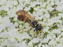 Ball-waisted wasp - Cerceris