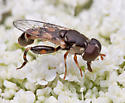 Syrphid - Syritta pipiens - male