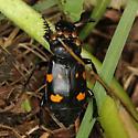 carrion beetle - Nicrophorus defodiens