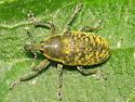 Weevil on thistle - Larinus planus