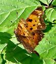 Butterfly 987 - Polygonia progne