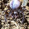 Large brown spider - Ummidia