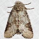 Unknown Moth - Lochmaeus bilineata