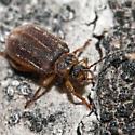 Small Beetle - Tricholochmaea
