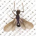 Square-headed Ant - Cyphomyrmex rimosus - male