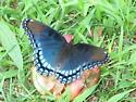 Large beautiful butterfly - Limenitis arthemis