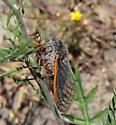 Cicada - Okanagana magnifica