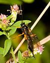 ichneumon wasp - Pimpla pedalis - female