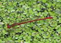 Duckweed Firetail - Telebasis byersi - male