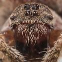Ocrepeira ectypa - female