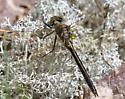Dragonfly species please - Cordulia shurtleffii