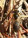 Andrenid or Colletid Bee? - Colletes inaequalis