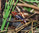 Red Wasp Hunting on Chesapeake Shoreline - Tachypompilus ferrugineus