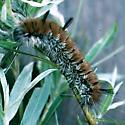 Fingered Dagger larva - Acronicta dactylina