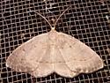 Moth - Lambdina - male