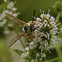 Wasp in Owens Valley - Crioscolia alcione