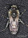 Hymenoptera - Colletes