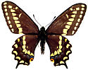 Papilio brevicauda - male
