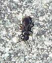 Tiphiinae walking on sidewalk