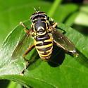 Spilomyia 01b - Spilomyia