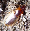 ground beetle - Tanystoma maculicolle