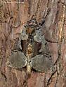 Unknown Moth - Autographa ampla