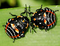 Halloween Bug - Murgantia histrionica