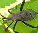 Which Coreidae sp. nymph ? - Acanthocephala