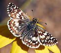 brown butterfly - Pyrgus albescens - female
