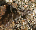 Unknown Bee Fly - Bombylius
