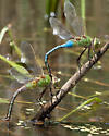 dragonfly id - Anax junius