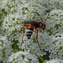 Wasp - Ichneumon ambulatorius