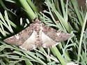 Moth #08-223 - Heteranassa mima