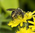 Honey Bee? - Andrena nivalis