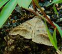 Moth 062418llc - Mocis