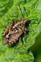Unknown Bug - Agonoscelis puberula