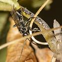 Aporus niger, female ? - female