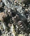intertidal rove beetle - Cafius canescens - male