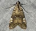 Elophila gyralis - male