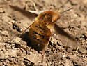 Greater Bee Fly? - Bombylius major